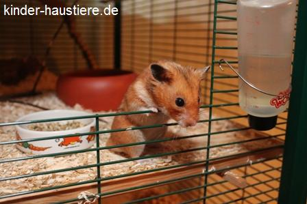 Goldhamster schaut aus seinem Käfig