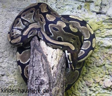 Königspython - Python regius