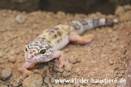 Haustiere Fur Kinder Leopardgeckos