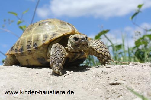 Steppenschildkröten oder Vierzehenschildkröten