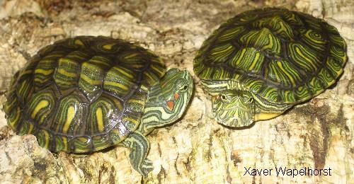 junge Schmuckschildkröten